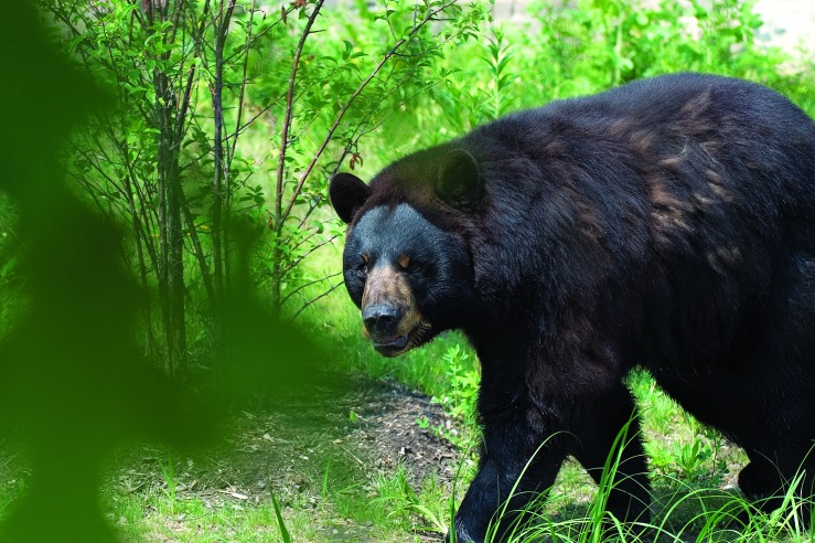 Black Bear 2_1