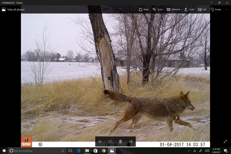 denver_coyote_0
