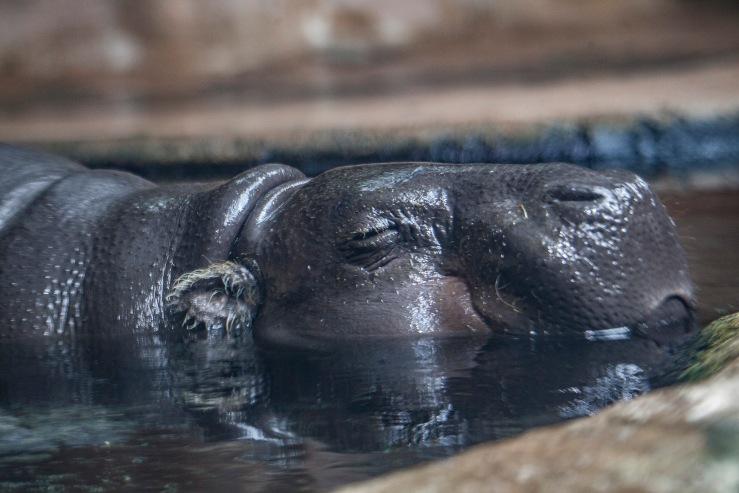 Hippo_0
