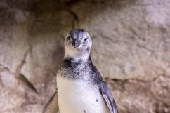 Magellanic penguin chick