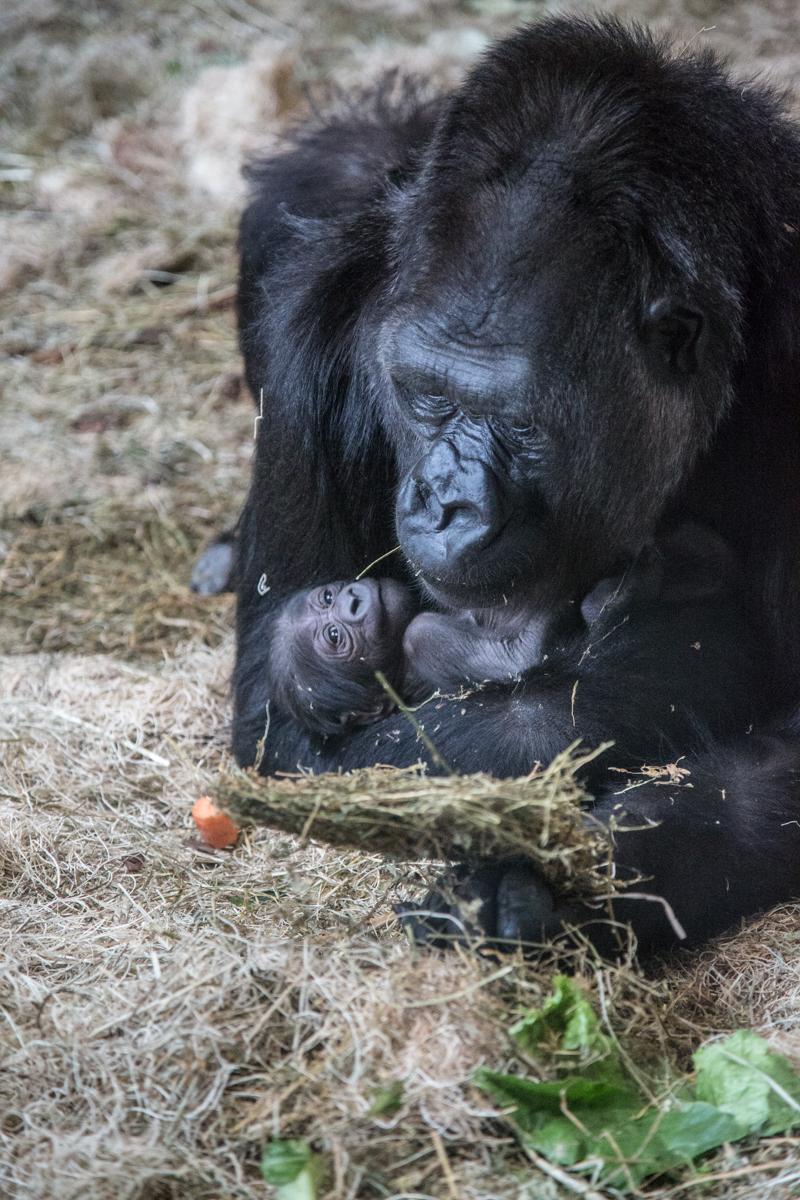 20190613_CB_bana_gorilla-39