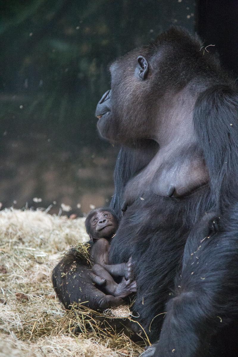 20190613_CB_bana_gorilla-49