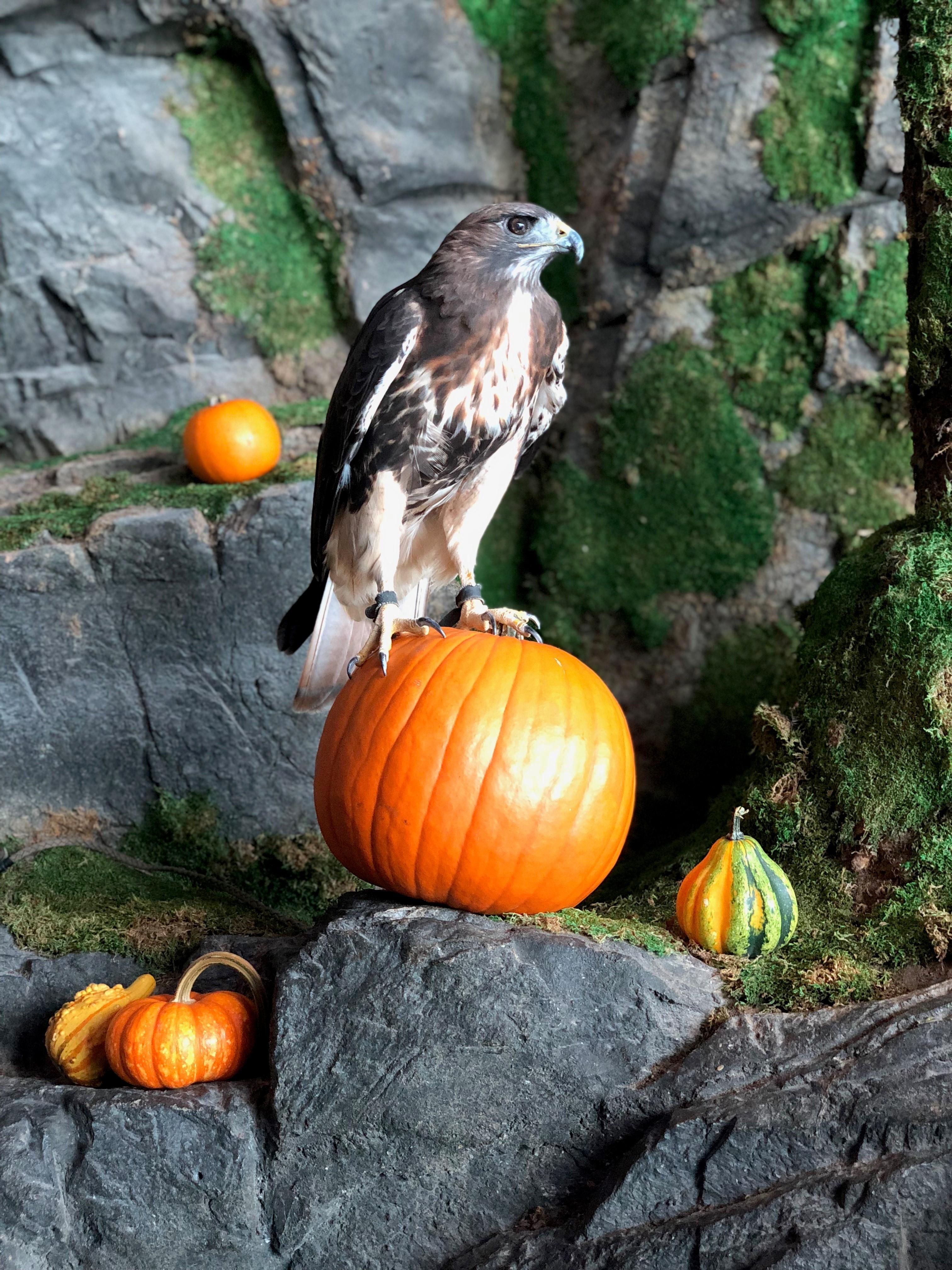 Halloween Falcon 5